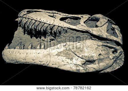 Dinosaur Fossil - Taubosaurus Bataar