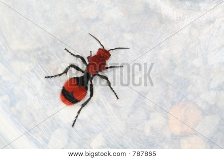 Red Velvet Ant (Cow Killer)