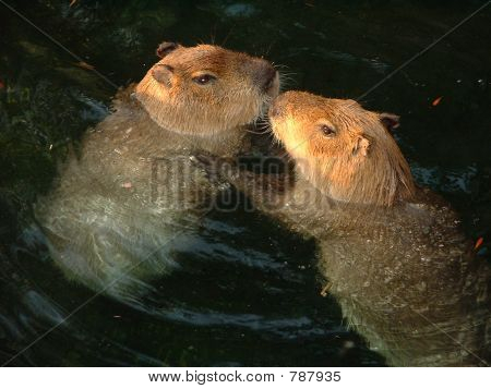 Capybaras In Love