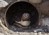 stock photo of south-pole  - Penguin spotted in the wild in the south pole - JPG