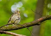 picture of meadowlark  - Song Thrush spotted in the wild in Dublin Ireland - JPG