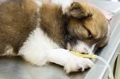 image of intravenous  - illness puppy with intravenous drip on operating table in veterinarian - JPG