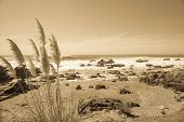 picture of pampas grass  - Coastal image - JPG