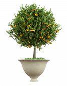stock photo of orange-tree  - Small orange tree in a classic vase isolated on white  - JPG