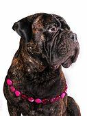 foto of bull-mastiff  - Female Adult Bull Mastiff sitting in Necklace - JPG