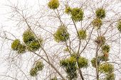 picture of significant  - Viscum album or mistletoe is a hemiparasite on several species of trees it has a significant role in European mythology legends and customs - JPG