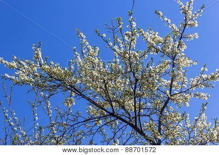 Flowering Branch Of Plum