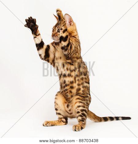 Bengal Cat Playing
