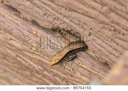 Common Forest Skink (sphenomorphus Maculates)