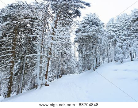 Winter, Panorama, Forest