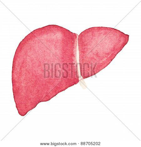 Watercolor realistic human liver on the white background, aquarelle.  Vector illustration.