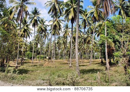 Plantation of coconut trees. Farm. Philippines. Palawan Island.