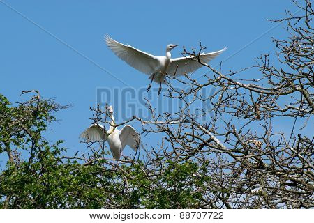 Pair Of Cattle Egret Flying Over Branches