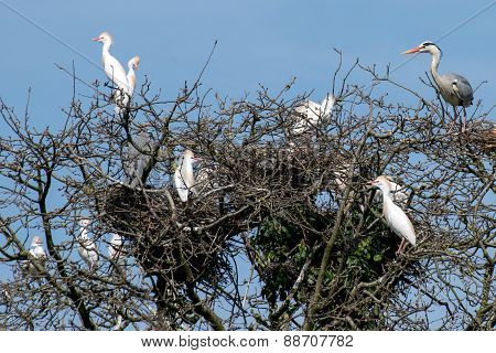 Group Of Cattle Egret And Grey Heron On Some Branches