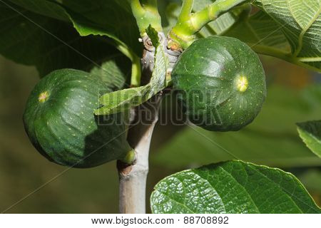 Green Figs On The Tree Close-up. Horizontal