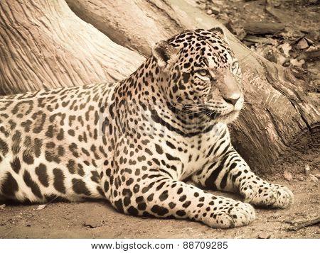 Jaguar Processed In Warm Duotone