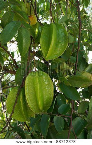 Green Star Apple Fruit
