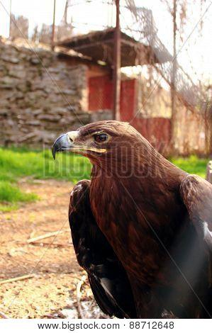 Aquila heliacal