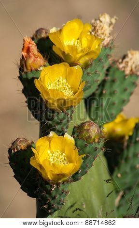 Yellow Cactus Flowers, Spain