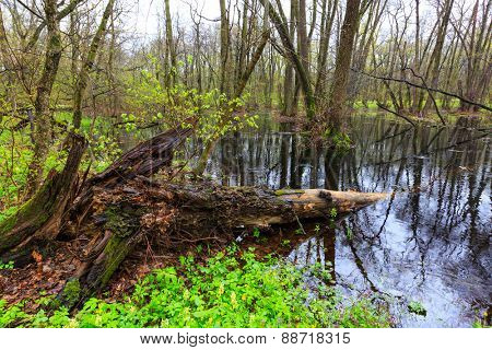 Landscape with old woods if spring forest
