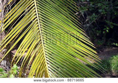 Green Big Palm Leaf Detail Photo In Summer