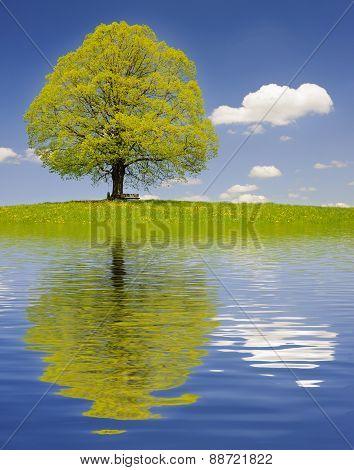 big old linden tree