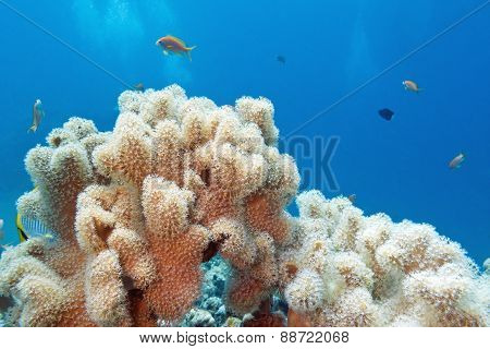 Coral Reef With Great  Sarcophyton Coral , Underwater