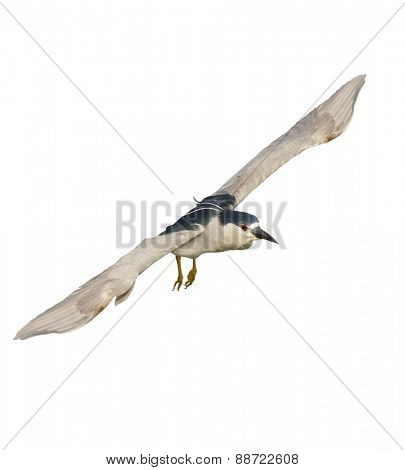 Black-crowned Night Heron In Flight Isolated On White Background