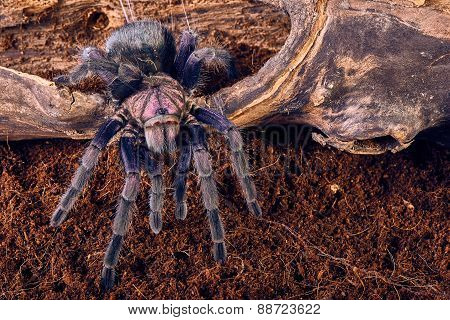 tarantula Phormictopus sp purple