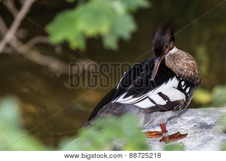 White Winged Wood Duck