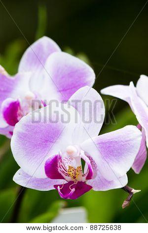 Orchid - Orchidaceae