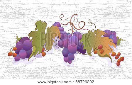 Ripe grapes on the vine