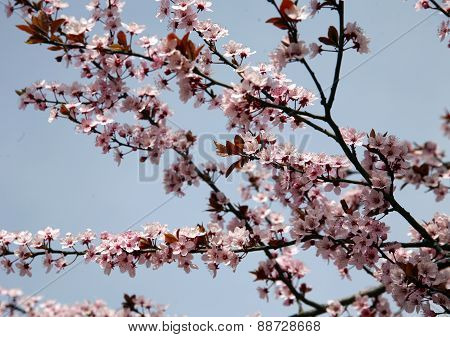 Pink Colored Cherry Blossom Branch In The Garden Against Blue Sky