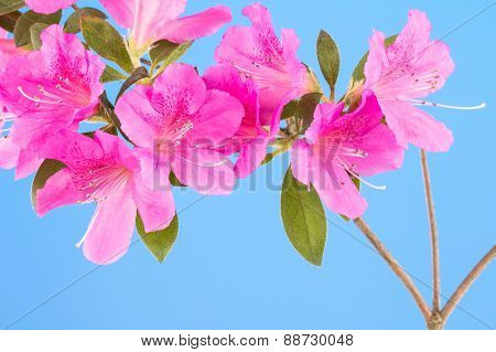 Magenta Pink Azalea On Blue