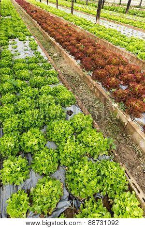 Organic salad field near chiang Mai, Thailand