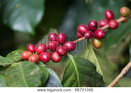 Ripe organic coffee beans on the tree