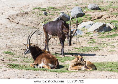 Sable Antelope - Hippotragus Niger