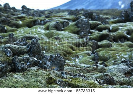 Durable Moss On Volcanic Rocks In Iceland