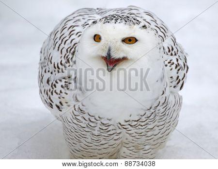 Talking Snowy Owl