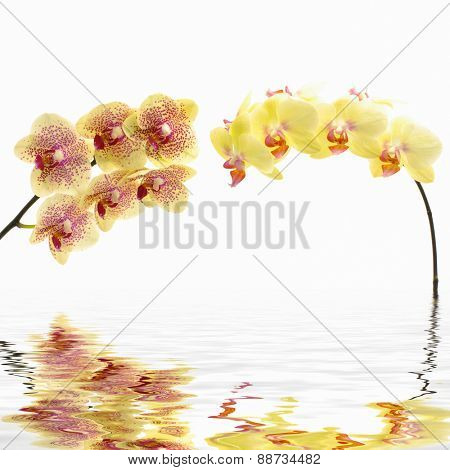 Yellow flower branch orchid reflection