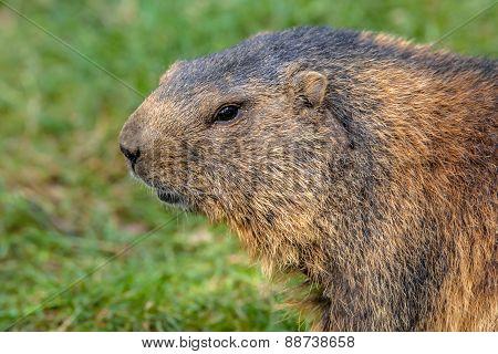 Alpine Marmot Portrait