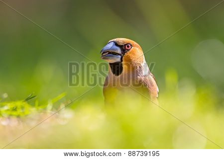 Head Of A Hawfinch In A Lawn