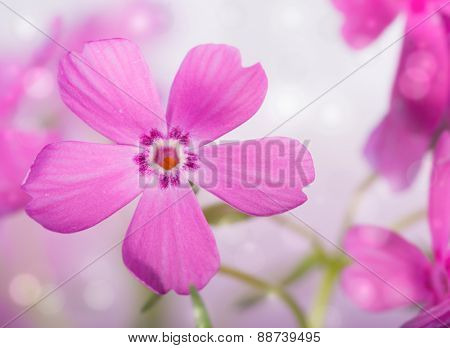 Dreamy image of a beautiful pink Creeping Phlox bloom