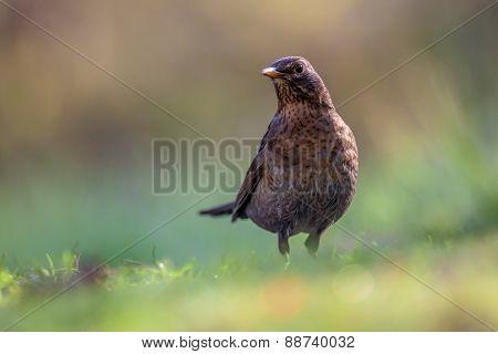 Alerted Female Common Blackbird