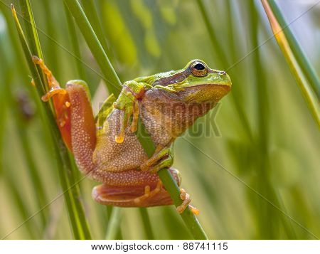 Green European Tree Frog Preparing For A Leap