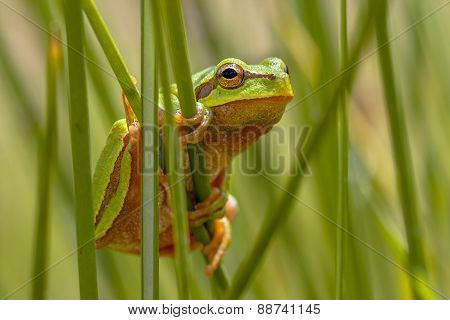 European Tree Frog Peeking From Behind Rush