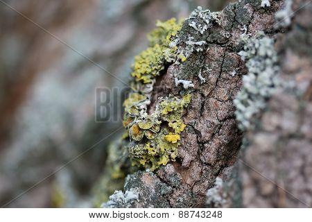 Lichen on old tree bark