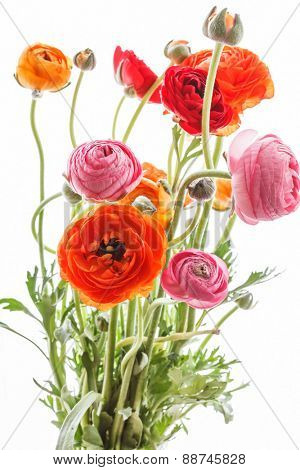 Colorful persian buttercup flowers (ranunculus)