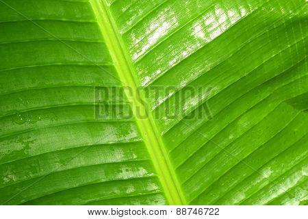 banana leaf is refreshing rain drops after rain