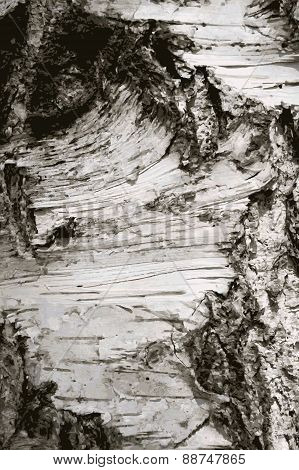 Illustration Of The Bark Birch